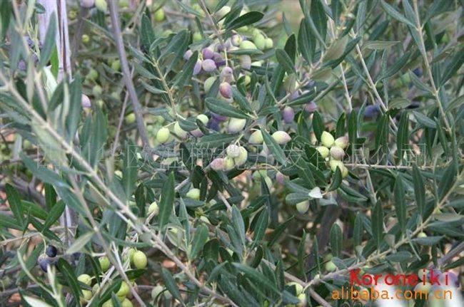 供应油橄榄树优质苗木.【结果早.抗病强】品种苗木