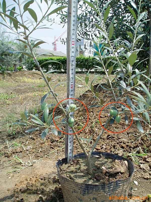 供应油橄榄树苗