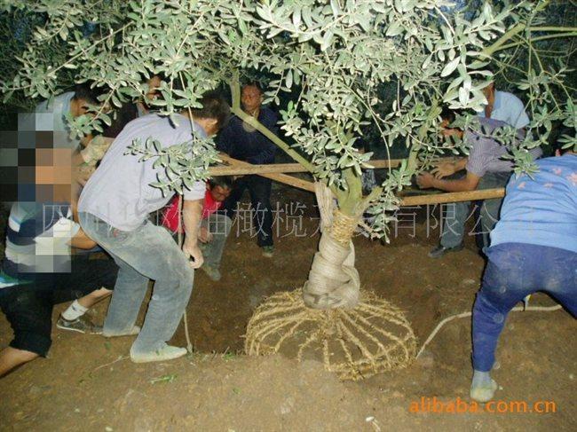 供应【园林绿化】苗木油橄榄树