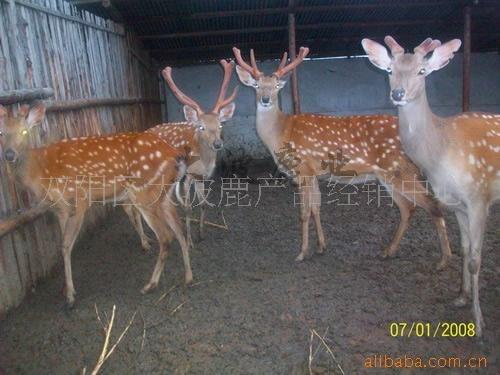 批发供应特种养殖梅花鹿