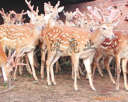 批发供应特种养殖梅花鹿 (小公鹿)
