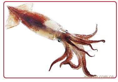 鱿鱼:软体动物门/头足纲