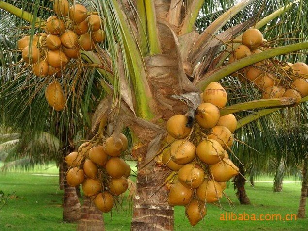 中国-> 海南省 -> 海口市  本公司长期供应椰子,槟榔,菠萝蜜,干果