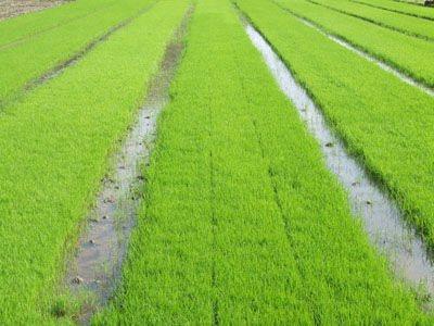梦见水田里的秧苗绿色