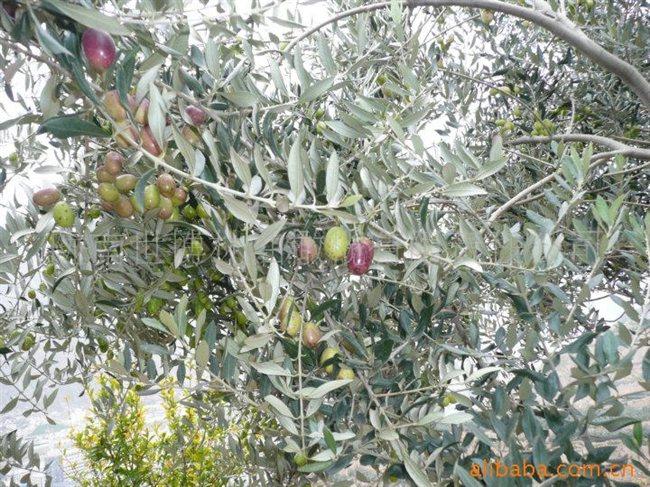 """陇南世博林油橄榄有限责任公司是一家专业从事油橄榄产业种植和研发的企业,是中国《国家油橄榄示范园——示范基地》,公司自一九九七年起,以公司+基地+农户的方式开发种植油橄榄,是国内最早引种油橄榄和率先进行油橄榄嫁接培育研发的企业,现已培育适合国内气候种植生长的品种有十多个,产品具有出油率高、国内适种范围广、成活率高(95%)、挂果率高和种植技术全面等优势,并已成功开发出""""博林""""牌橄榄油系列产品,公司至今开发种植油橄榄的面积近十万亩。 我公司长期供应适合国内引种的"""