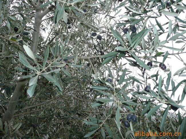 国家示范基地油橄榄树苗