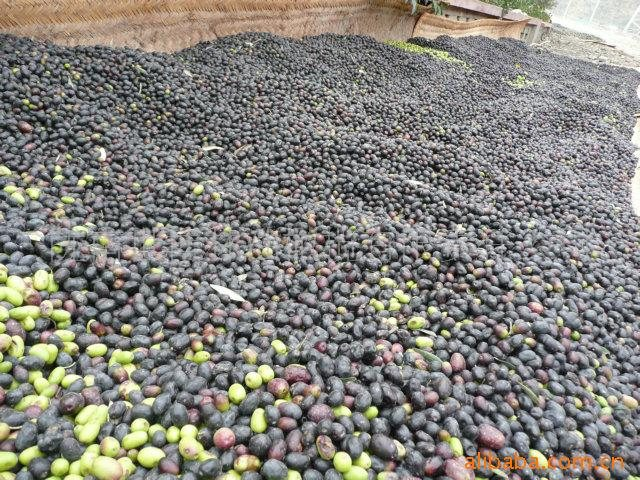 国家示范基地 油橄榄树苗