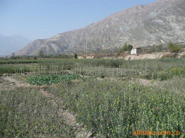 供应国家示范基地油橄榄树苗
