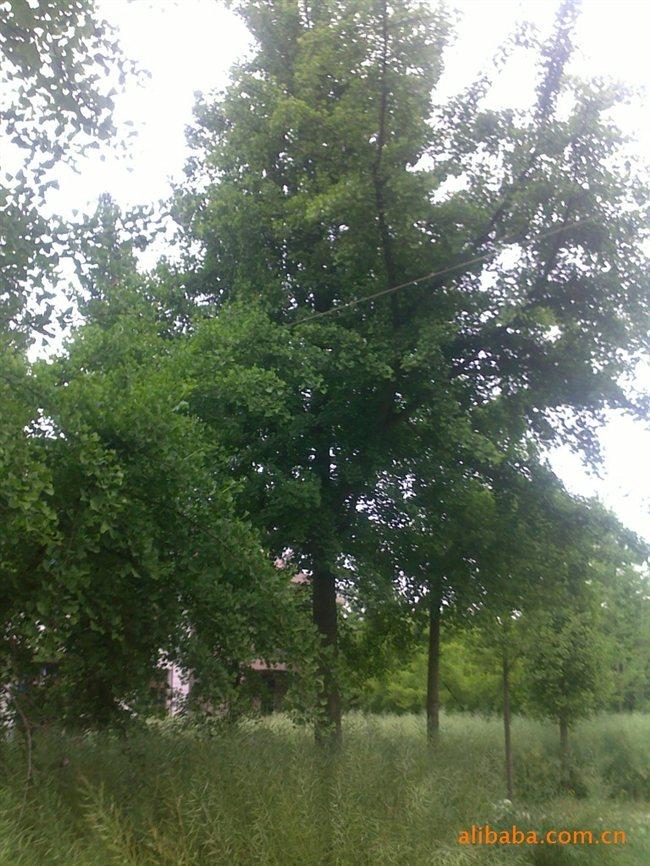 杨小亮(个人)是一家私营单位,主营绿化苗木。位于全国花木市场(如皋十里花木城),城南10公里处,交通便利,距京通高速,京沪高速仅十公里。以自销为主,同时于江浙,四川,山东等与绿化公司合作。我们有各种常绿/落叶、乔木,花灌木,造型苗木等,【主营:银杏树,榉树,朴树,挂花】规格齐全。