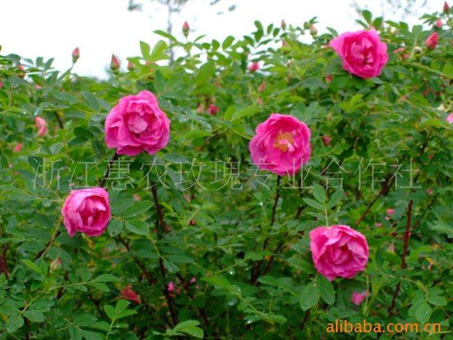 供应可食用玫瑰花苗 浙江惠农玫瑰专业合作社-食品