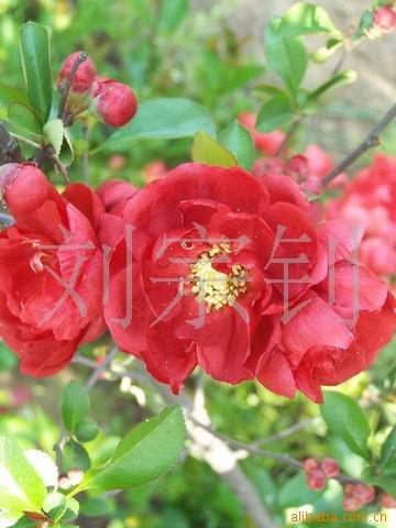 盆景 河东区/多品种木瓜海棠花盆景盆景花卉 海棠桩头