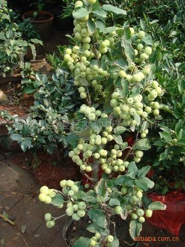 批发优质长寿果 冬红果等果树盆栽