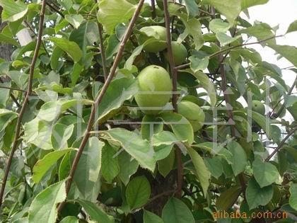 树桩树木盆景 果树盆景批发 苹果 长寿果 木瓜盆景