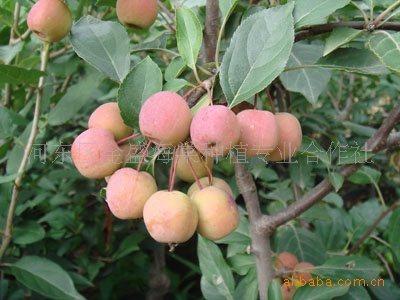海棠木瓜树图片
