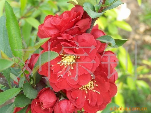 河东区/木瓜长寿果冬红果盆花 盆景花卉批发盆栽花卉