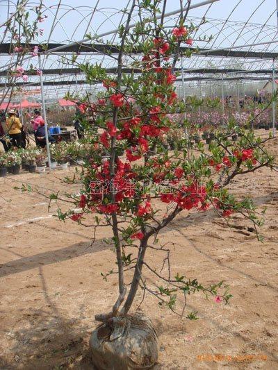 批发优质木瓜海棠树,别墅绿化中最高档的海棠 河东区金盛海棠种植专业合作社