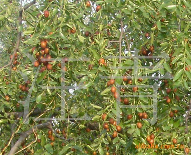 青枣树修剪技术图解