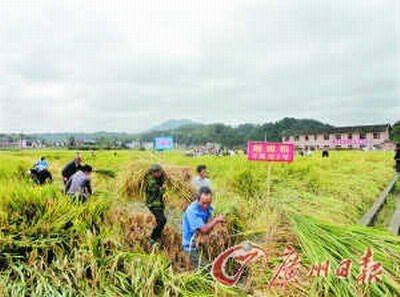 超级稻收割了 冲击亩产900公斤