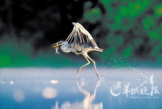 获得2011年英国野生动物摄影奖最佳动物行为奖
