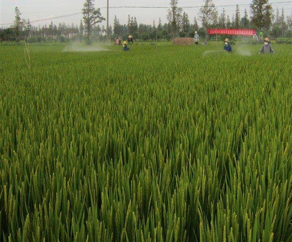 江苏如东县丰利镇确保82000多亩水稻正常生长